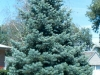 abies_concolor