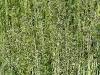 Агростис - полевица