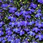 Лобелия синя