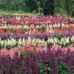 градина с салвии