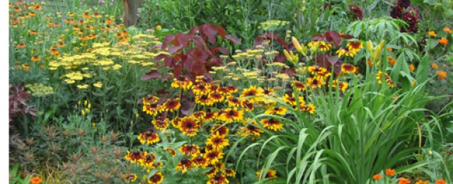 градина с рудбекии