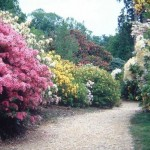 leith_hill_rhododendron_wood