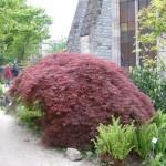 acer-palmatum-atropurpureum