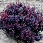 berberis-thunbergii-autropurperea