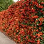 pyracantha-hedge