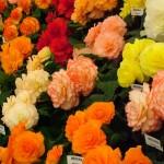 begonia_flowers