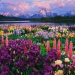 iris-and-lupine