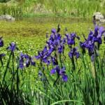 japanese-iris