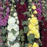ружа - цвят