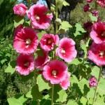 ружа - градина