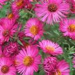 pink-flower-aster