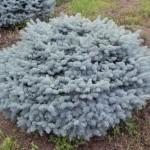 spruce-colorado-blue-globe